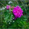 Adirondacks Chateaugay Lake Snug Harbor Trainer Camp Garden Flower 26 August 2017