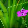 Adirondacks Chateaugay Lake Flowers 6 July 2018