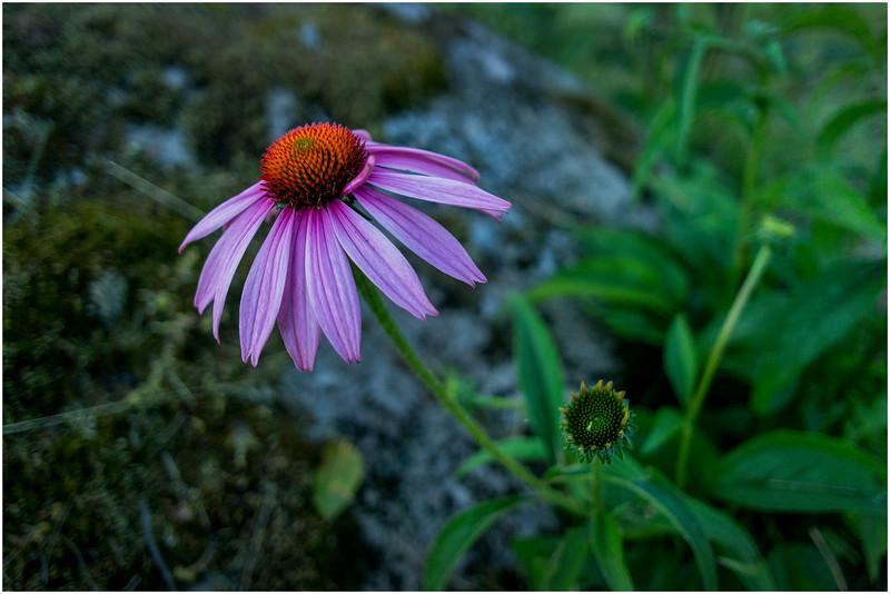 Adirondacks Chateaugay Lake Jennifer's Flowers 8 July 2016