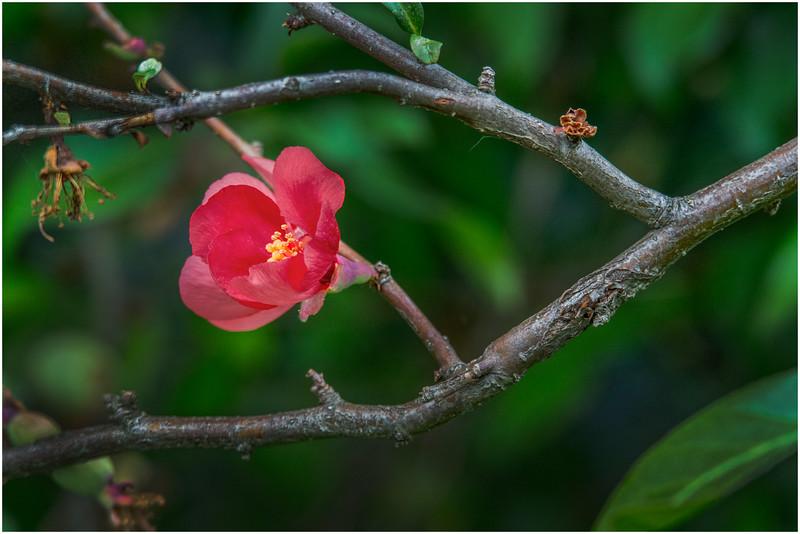 Delmar NY Backyard Thornbush Flowers 3 May 2016