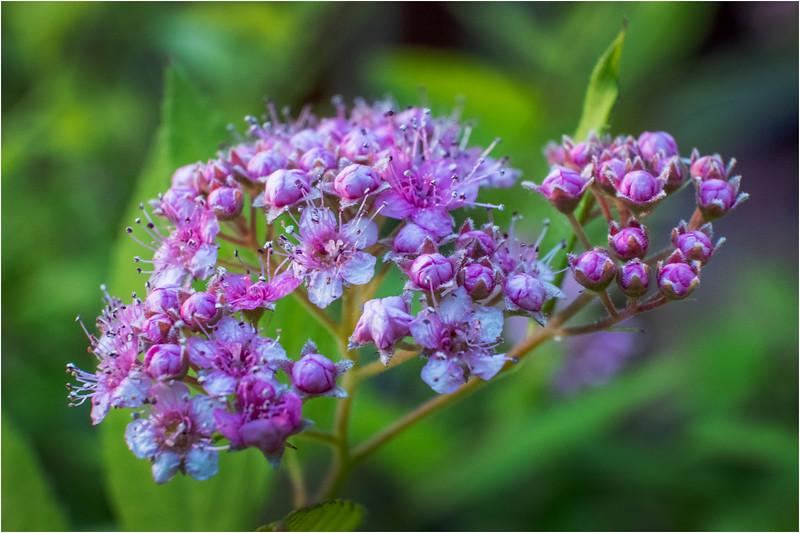 Altamont NY Mom's Backyard Flowers 17 June 2018