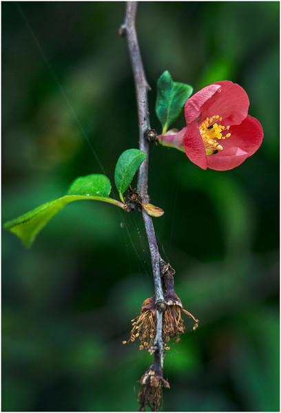 Delmar NY Backyard Thornbush Flowers 4 May 2016