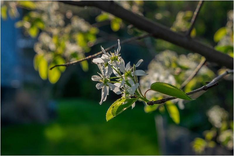 Delmar NY Backyard Flowers 1 June 2018