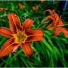 New Paltz NY Tigerlily 1 July 2017