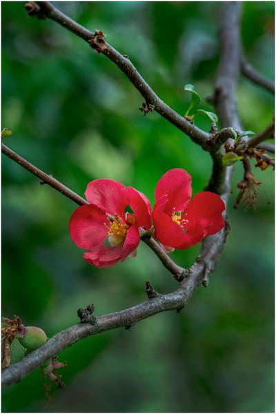 Delmar NY Backyard Thornbush Flowers 1 May 2016
