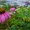 Adirondacks Chateaugay Lake Snug Harbor Trainer Camp Garden Flower 20 August 2017
