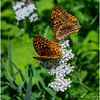 Adirondacks Peck Lake Great Spangled Fritillary on Shadbush 2 July 2017