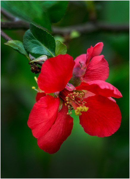 Delmar NY Backyard Thornbush Flowers 5 May 2016