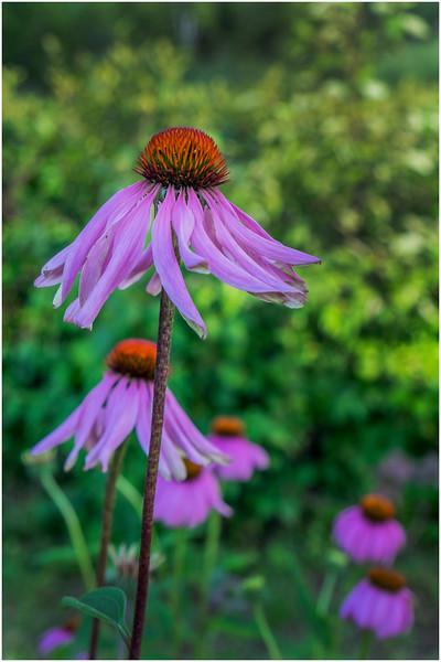 Adirondacks Chateaugay Lake Snug Harbor Trainer Camp Garden Flower 44 August 2017