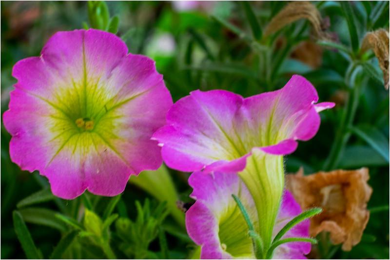 Altamont NY Flowers 4 June 2018
