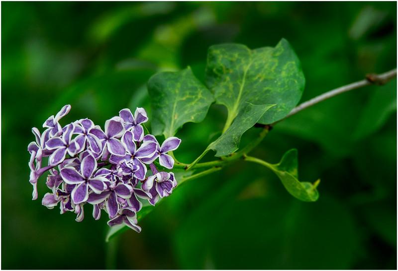 Delmar NY Backyard Lilac 1 May 2016