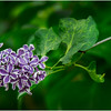 Delmar NY Backyard Lilac 1 May 2016