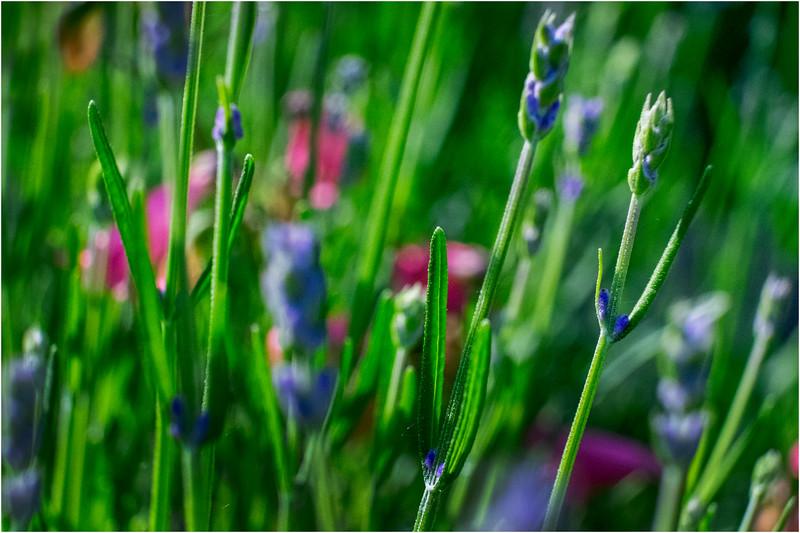 Delmar NY Backyard Flowers 15 June 2018