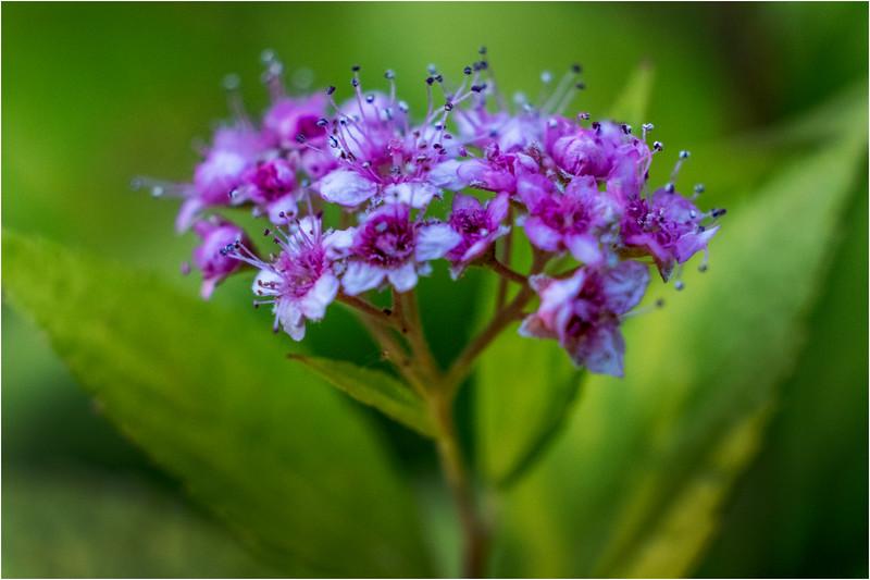 Altamont NY Mom's Backyard Flowers 12 June 2018