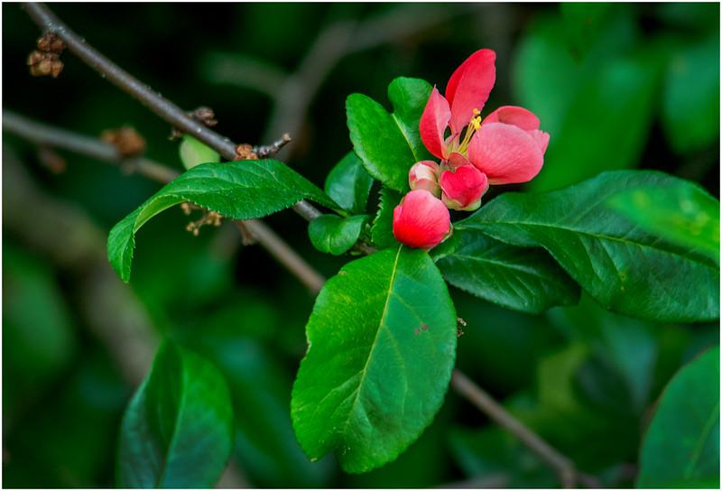 Delmar NY Backyard Thornbush Flowers 6 May 2016