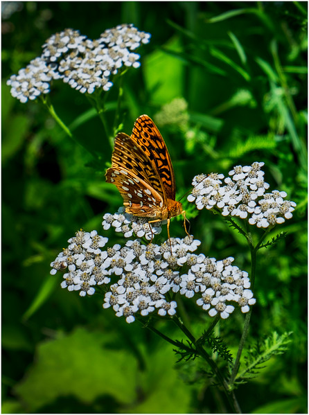 Adirondacks Peck Lake Great Spangled Fritillary on Shadbush 3 July 2017