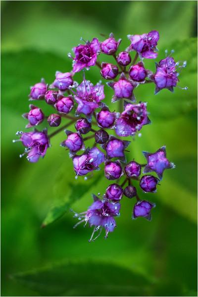 Altamont NY Mom's Backyard Flowers 10 June 2018