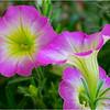 Altamont NY Flowers 6 June 2018