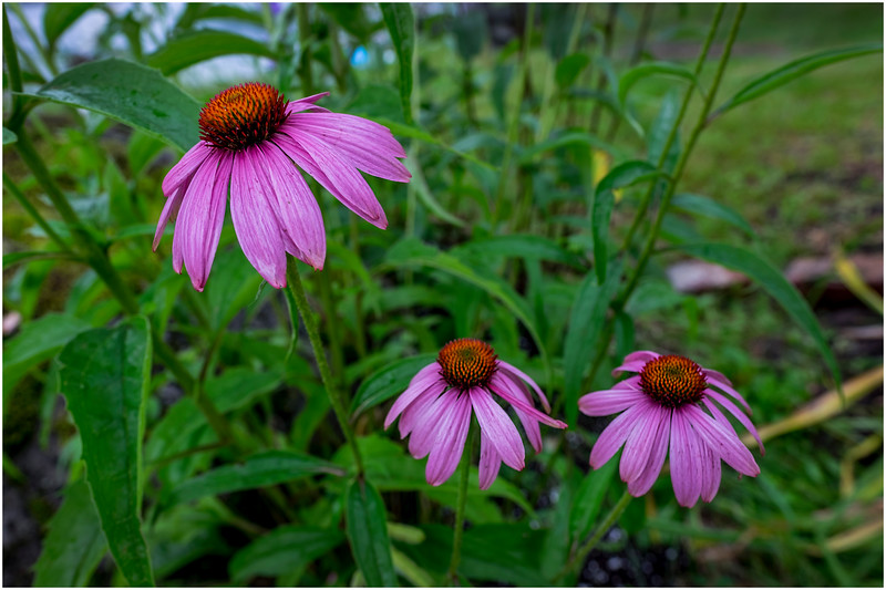 Adirondacks Chateaugay Lake Snug Harbor Trainer Camp Garden Flower 19 August 2017