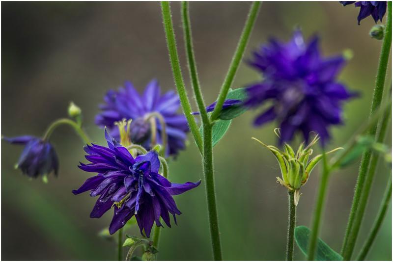 Delmar NY Backyard Purples 1 May 2016