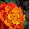 Delmar NY Backyard Flowers 7 June 2018