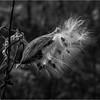 Slingerlands NY November 2015 BW Milkweed 6