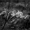 Slingerlands NY November 2015 BW Milkweed 2