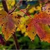 Becket Massachusetts September 2009 Set of Leaves 2