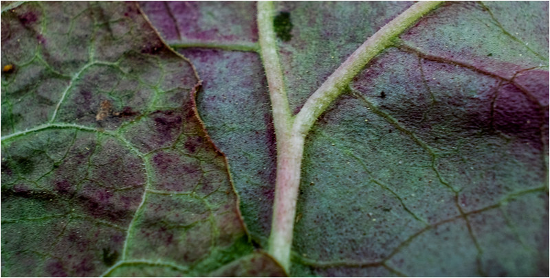 Delmar NY Rhubarb Leaves 6 June 2018