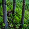 Becket Massachusetts September 2009 Three Trees and Ferns