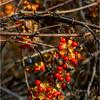 Slingerlands NY November 2015 Berries 1