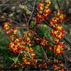 Slingerlands NY November 2015 Berries 2