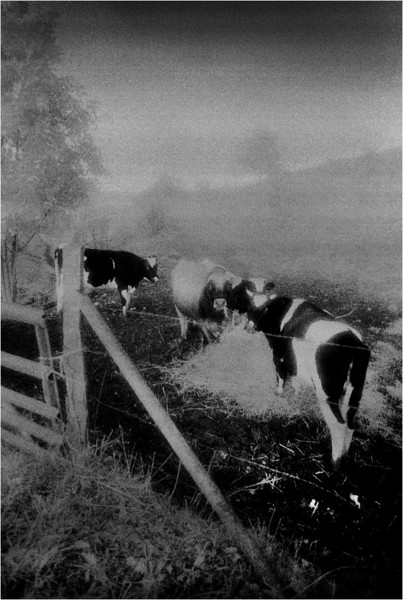 Albany County NY Cows at the Gate 2 IR Film June 1992