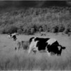 Washington County NY Grazing Cows 3 IR Film May 1983