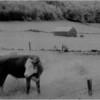 Washington County NY Grazing Cow 1 IR Film May 1991