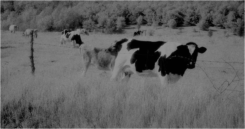 Washington County NY Grazing Cows 2 IR Film May 1983