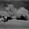 Washington County NY Grazing Cows 5 IR Film May 1983