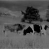 Washington County NY Grazing Cows 4 IR Film May 1983