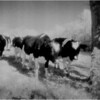 Washington County NY Herd of Cows 1 IR Film June 1987