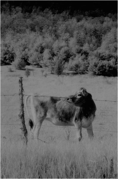 Washington County NY Grazing Cows 1 IR Film May 1983