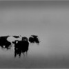 Elsmere NY Kleinkes Herd of Cows 3 IR Film May 1992
