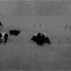 Elsmere NY Kleinkes Herd of Cows 1 IR Film May 1992