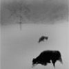 Elsmere NY Kleinkes Two Cows and Tree 2 IR Film  May 1992