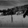 Washington County NY Grazing Cows 6 IR Film May 1983