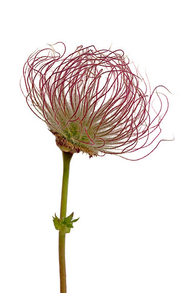 Seedhead 5