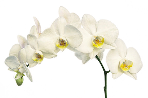 White Orchid 8