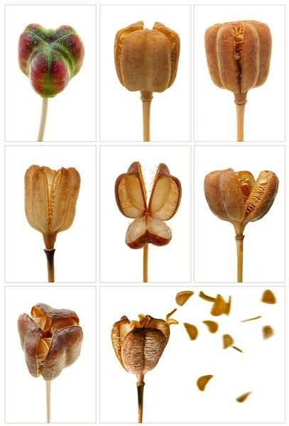 Fritillaria Seedheads