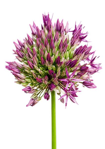 Allium 7