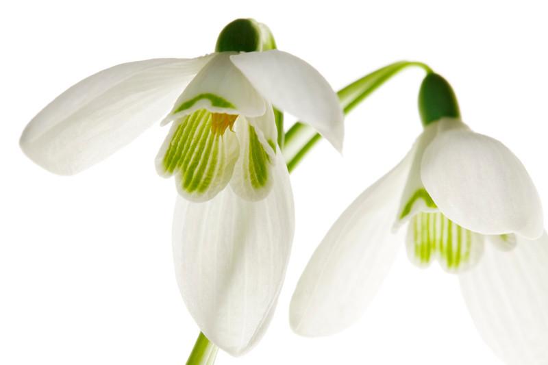 White Snowdrops 1