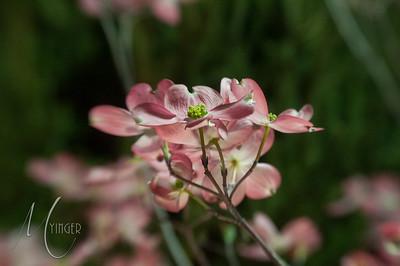 LENSBABY Pink Dogwood